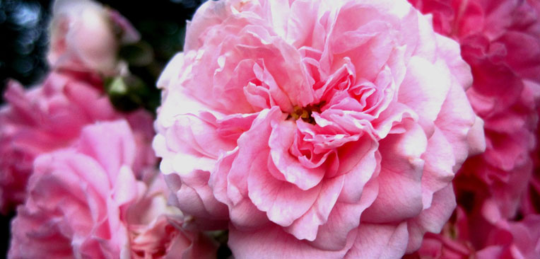 Tisserand Aromatherapy Essenatial Oil Of The Month: Rose